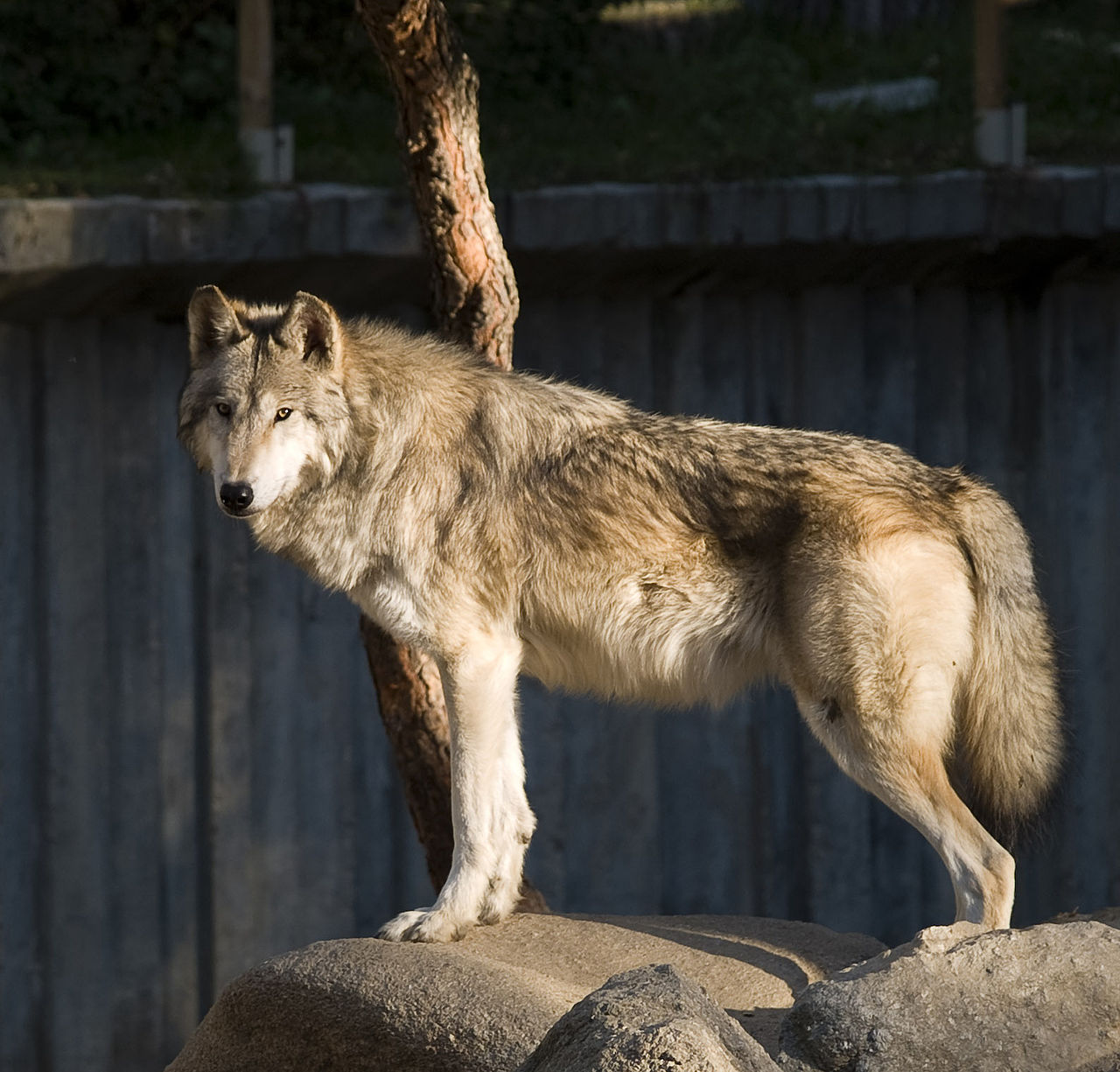 1280px-lobo_en_el_zoo_de_madrid_01_cropped